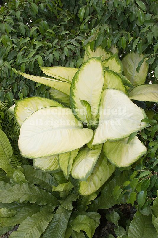 Tropic Marienne Diffenbachia hybrid