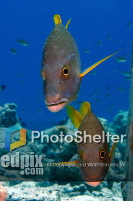 15 August 2005: A pair of Schoolmasters (Lutjanus apodus) swim together at La Machaca Reef, on the Dutch island of Bonaire, in the Netherland Antilles. Used Aquatica D100 housing, flat port with single Ikelite 225 strobe 1/4 power manual setting...Mandatory Photo Credit: Ed Wolfstein Photo