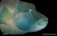 0514-1005  Humphead Wrasse (Giant Wrasse or Napoleon wrasse), Cheilinus undulatus  © David Kuhn/Dwight Kuhn Photography