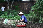 A woman harvests potatoes from a plot inside the Citadel in the former imperial capital of Hue, Vietnam. April 21, 2013.