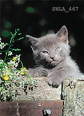 Carl, ANIMALS, photos(SWLA467,#A#) Katzen, gatos