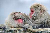 primate, Japanese macaque, Snow monkey, Macaca Fuscata, It relaxes in the hot spring. Jigokudani means Hell's valley hot spring, Ngano, Japan