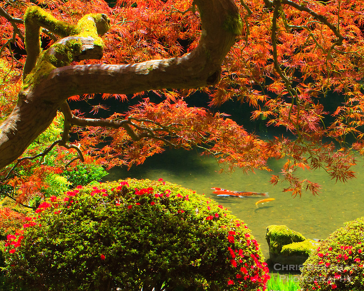 Koi are seen in a pond swimming in a group framed by a Japanese maple and azalea bush in bloom in Spring at the Portland Japanese Garden