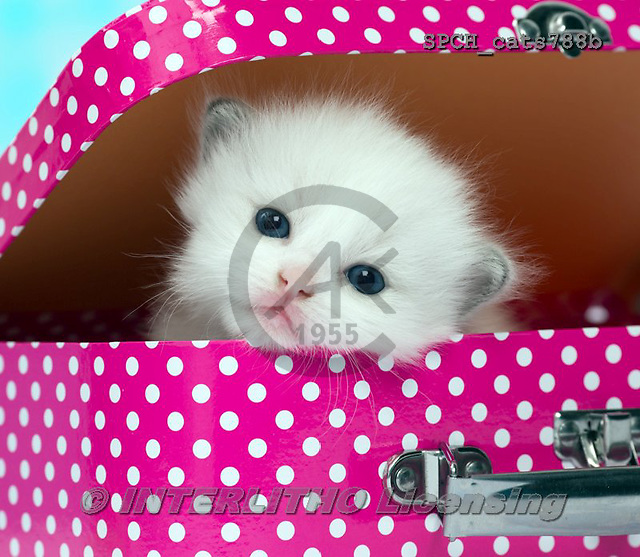 Xavier, ANIMALS, REALISTISCHE TIERE, ANIMALES REALISTICOS, cats, photos+++++,SPCHCATS788B,#a#