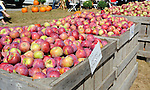 Bins of Cortland Apples at the Orchard, New Hampshire