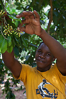 Zanzibar, Tanzania.  Picking Cloves on a Clove Plantation.