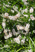 Clethra alnifolia in flower