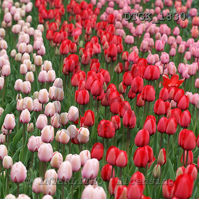 Gisela, FLOWERS, photos+++++,DTGK1830,#f# Blumen, flores, retrato