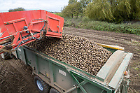Loading cart with Maris Piper potatoes - Lincolnshire, October