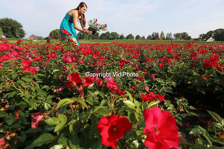 Foto: VidiPhoto<br /> <br /> LEERSUM - Speciaal voor toepassing in openbaar groen brengt boomkwekerij Darthuizer uit Leersum de winterharde, rijkbloeiende en ziekteresistente Rosa &lsquo;Sexy Lady&rsquo; op de markt. De nieuwe, compacte en breedbossige struikroos met halfgevulde bloemen in een opvallende rood-roze kleur wordt maximaal 50 centimeter hoog en bloeit vanaf juni. Het onderhoud past in een standaardbeheerplan van drie jaar. Voor het snoeien kan een klepelmaaier gebruikt worden. De &lsquo;Sexy Lady&rsquo; is zeer geschikt als bodembedekker voor plantvakken, taluds en rotondes in de volle tot halfvolle zon. Spuiten is niet nodig omdat de plant resistent is voor meeldauw, roest en sterroetdauw. De struikroos is rijkbloeiend en zelfschonend van de oude bloem.