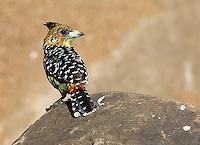 A crested barbet in Kruger National Park.