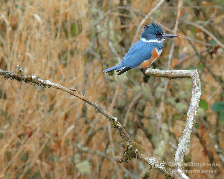 A Belted Kingfisher (Ceryle alcyon) is perched on a branch over a pond in the Ridgefield National Wildlife Refuge