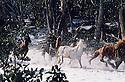 Stockmen chasing wild horses through snow. Mt Buller, Snowy Mountains, Victoria