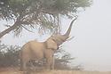 Namibia;  Namib Desert, Skeleton Coast, Hoanib River, desert elephant (Loxodonta africana) , feeding on acacia tree in fog