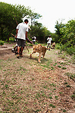 MAURITIUS, Flic en Flac, a lioness abandons the walk to hunt a deer at Casela Nature and Leisure Park in western Mauritius