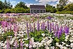 Wildflowers bloom in Brooklin, ME, USA