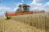 Harvesting wheat with Claas Lexion 780 combine & 13.8m header - Cambridgeshire, August