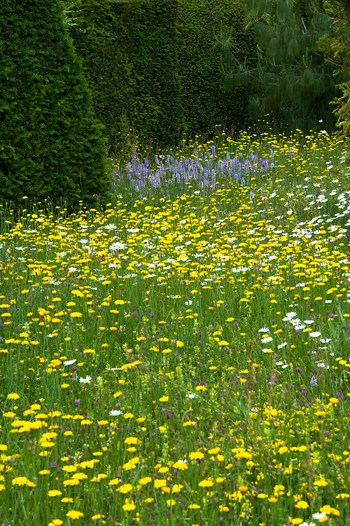 Wildflowers in the Topiary Lawn, Great Dixter, early June. Wildflowers include Common spotted orchid, (Dactylorhiza fuchsii), Ox-eye Daisy (Leucanthemum vulgare), Meadow buttercup (Ranunculus acris), Yellow rattle (Rhinanthus minor).
