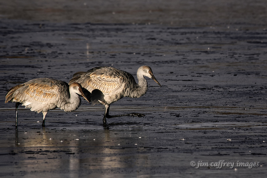 Two juvenile sandhill cranes walking cautiously across the ice on a frozen pond at Bosque del Apache National Mildlife Refuge.