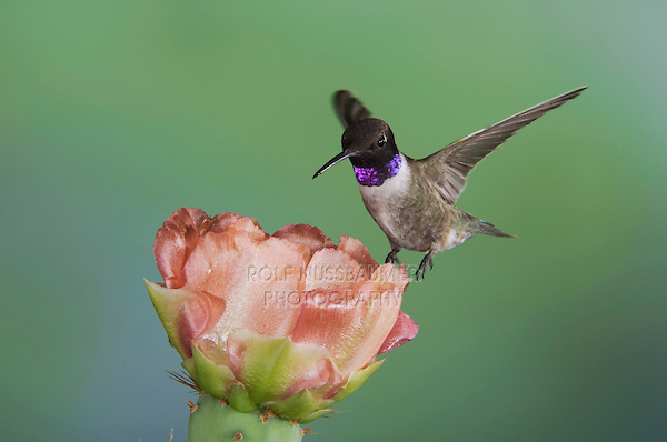 Black-chinned Hummingbird, Archilochus alexandri, male in flight feeding on Texas Prickly Pear Cactus (Opuntia lindheimeri), Uvalde County, Hill Country, Texas, USA, April 2006