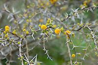 Le Domaine du Rayol:<br /> Acacia karroo