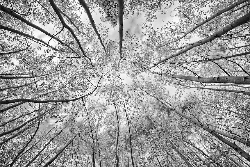 Here is a colorado black and white image of aspen trees looking straight up on a
