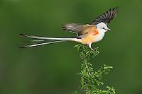 Scissor-tailed Flycatcher (Tyrannus forficatus), adult male singing on perch, Laredo, Webb County, South Texas, USA