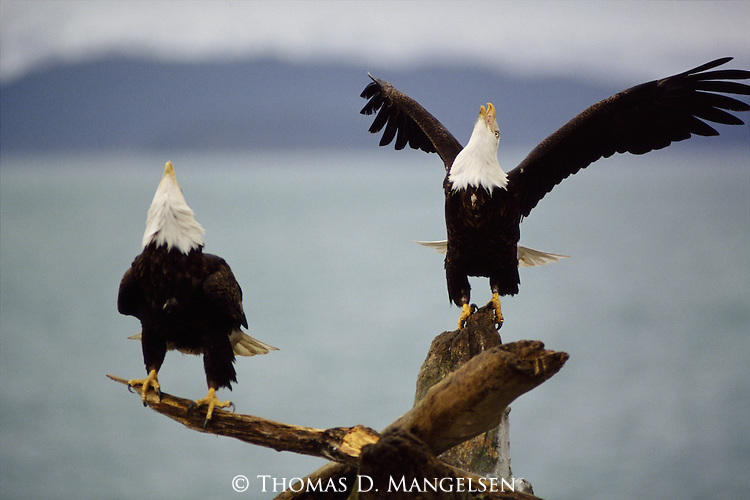 A pair of Bald Eagle speech on a fallen tree.