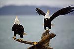 A pair of Bald Eagle speech on a fallen tree.