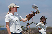 Shannon Hoffman (right) and Lindy Thompson (left) with a African Goshawk during their interactive flight display show..October 2010..African Bird of Prey Sanctuary..Kwazulu-Natal, South Africa.