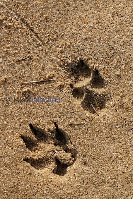 Dog paw prints in sand.