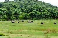 Nusa Tenggara, Lombok, Kuta. Water buffaloes not far from Kuta, Lombok.