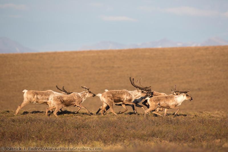 Caribou run across Alaska's arctic tundra.