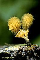 SD09-051x  Slime Mold - fruiting bodies - Hemitrichia clavata -10x