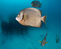 gray angelfish, Pomacanthus arcuatus, schooling, Underwater Museum, Cancun Mexico, Caribbean Sea, Atlantic Ocean