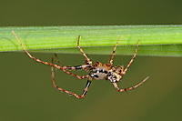 Spinnenfresser, Männchen, Ero furcata, Pirate spider, male, Spinnenfresser, Mimetidae, Pirate spiders