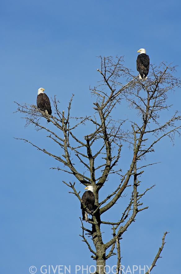 Bald Eagles perched at Padilla Bay, Washington