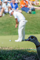 A goose watches Hideto TANIHARA (JAP) on the 11th during the 5th round at the WGC Dell Technologies Matchplay championship, Austin Country Club, Austin, Texas, USA. 25/03/2017.<br /> Picture: Golffile | Fran Caffrey<br /> <br /> <br /> All photo usage must carry mandatory copyright credit (&copy; Golffile | Fran Caffrey)
