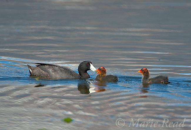 American Coots (Fulica americana), adult feeding one of two chicks, Mono Lake Basin, California, USA