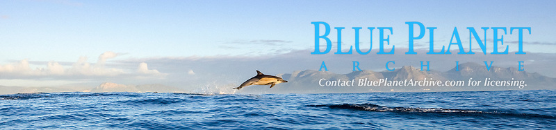 long beaked common dolphins, Delphinus capensis (formerly lumped with Delphinus delphis) leaping, South Africa