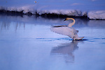 Trumpeter swan rising up from water