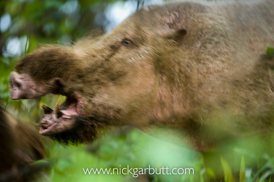 Male Bearded Pig (Sus barbatus) fighting at forest wallow. Bako National Park, Sarawak, Borneo.