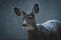 Portrait of a Montana mule deer doe with with a blanket of snow covering her back as snowflakes swirl around her.
