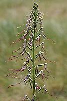 Adria-Riemenzunge, Adriatische Riemenzunge, Himantoglossum adriaticum, Himantoglossum hircinum subsp. adriaticum, Adriatic Lizard Orchid