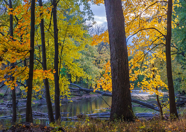 Late Light makes autumn foliage glow along the DesPlaines River at Ryerson Woods Conservationa Area in Lake County, Illinois