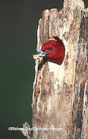 01197-005.14 Red-headed Woodpecker (Melanerpes erythrocephalus) excavating nest cavity   IL