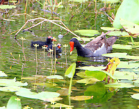 Common gallinule (moorhen) with two of eight chicks. The babies can't have been more than a few days old but were swimming with parents.