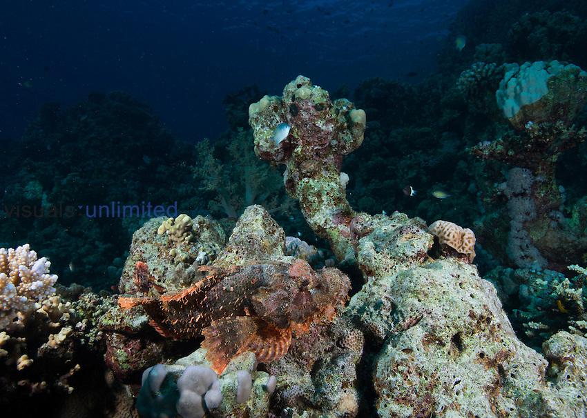 Tassled Scorpionfish (Scorpaenopsis oxycephala), Red Sea, Egypt