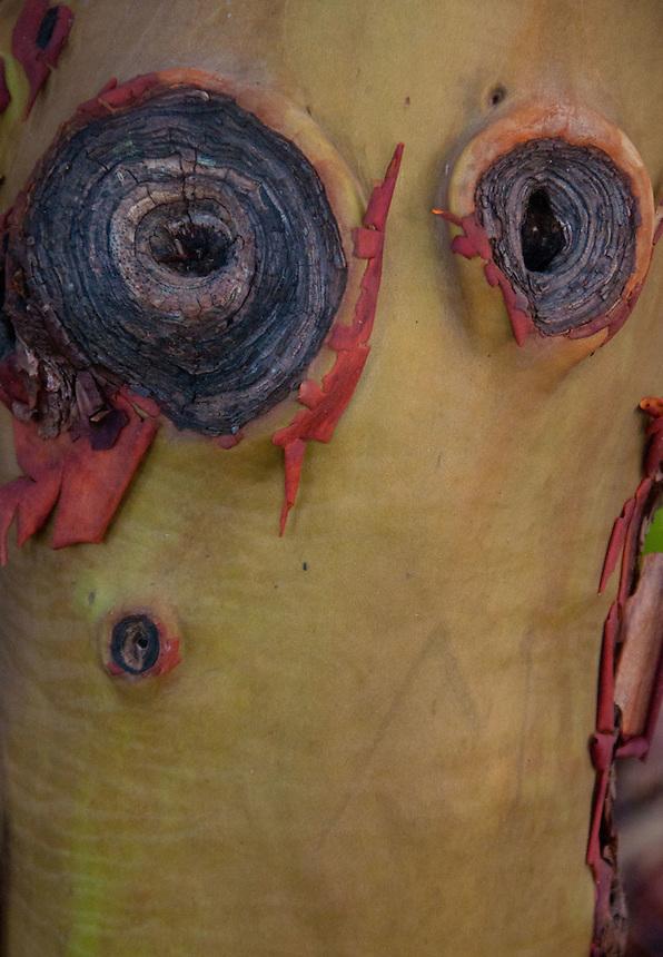 Madrona (Arbutus menziesii) Bark Detail, Stuart Island, Washington, US