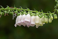 Foxglove, digitalis grandiflora, closeup of white wet flowers with purple spots in rain. Smaland region. Sweden, Europe.
